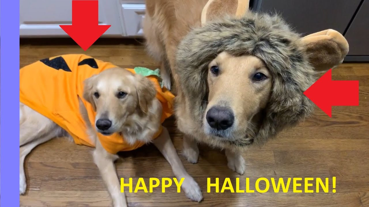 Golden Retrievers Boomer and Bella try on Halloween costumes