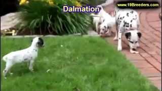 Dalmation, Puppies, For, Sale, In, Birmingham, Alabama, Al, Montgomery, Tuscaloosa, Jefferson, Shelb