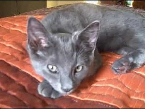 Korat kitten's first day in a new home!