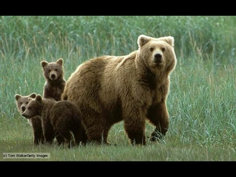 10 Amazing Facts About Bears - YouTube