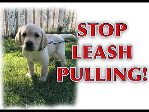 How to train your PUPPY to walk on a loose leash! thumbnail