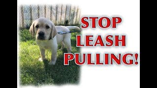 How to train your PUPPY to walk on a loose leash!
