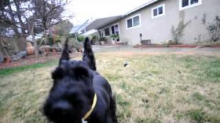 Skansen Kennel Giant Schnauzer 5