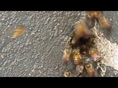 Đàn Ong Mật làm tổ trong tường