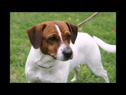 Датско шведская фермерская собака гардхунде