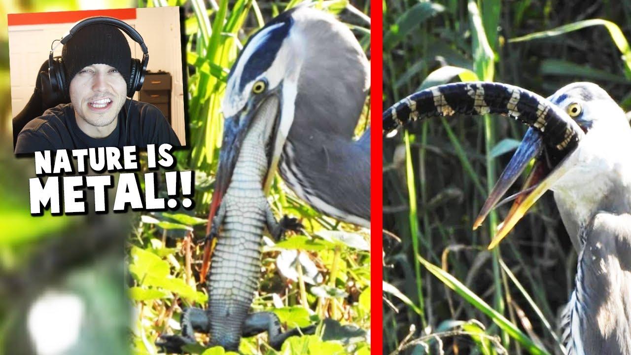 BIRD SWALLOWS GATOR?! (Animal Attack Reaction)