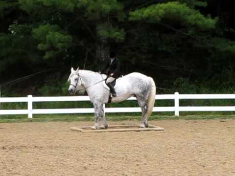 Percheron Draft Horse Showing in Trail Class 2008 High Point Champion