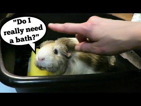 Guinea Pig Hernia Up Close & Pecan's Bath
