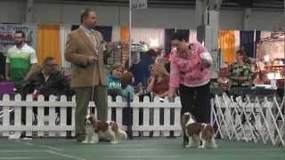 Kentuckiana Cluster - Cavalier King Charles Spaniel - Open Bitch