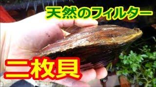 【ビオトープの生体ろ過装置】ヌマガイ(ドブガイ)という名の二枚貝をご紹介☆【二枚貝の飼育】
