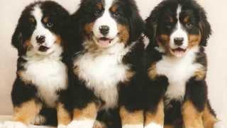 Razas de perros, Boyero De Berna