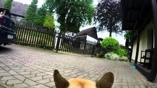 GoDog - GoPro Hero 3+ mounted on dog