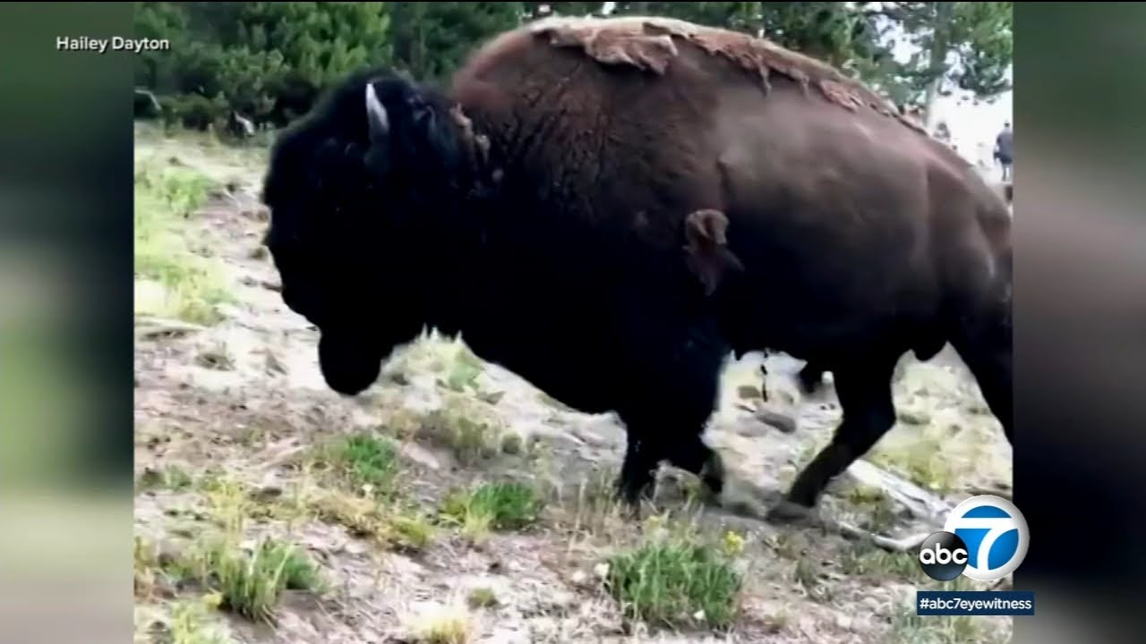 Download California woman gored by bison at Yellowstone | ABC7