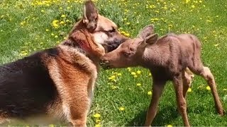 Abandoned Baby Moose In Need Of Help Meets An Unlikely Hero In The Nick Of Time