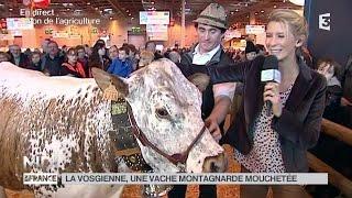 ANIMAUX : La Vosgienne, une vache montagnarde mouchetée