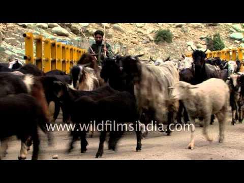 Pashmina Goats cross a bridge in Kashmir