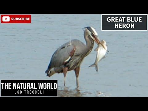 Great Blue Heron eats huge fish