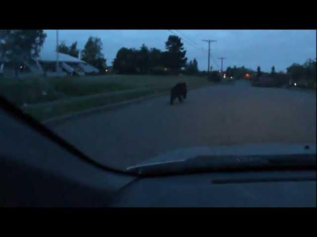 Tacoma black bear 1