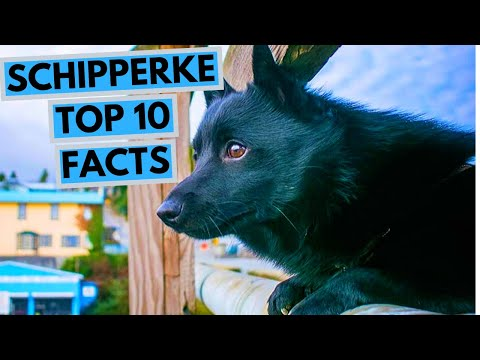 Schipperke - TOP 10 Interesting Facts