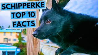 Schipperke  TOP 10 Interesting Facts