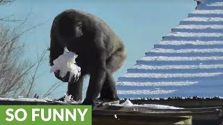 Gorilla youngster loves to play with snow