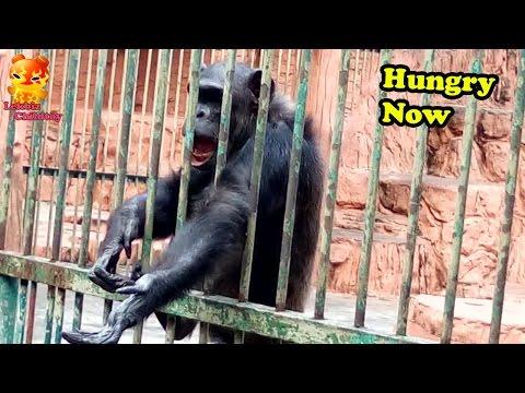 Chimpanzee Hungry Now  @Samutprakarn Zoo