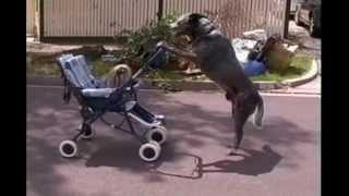 Большая собака катает в коляске маленькую )
