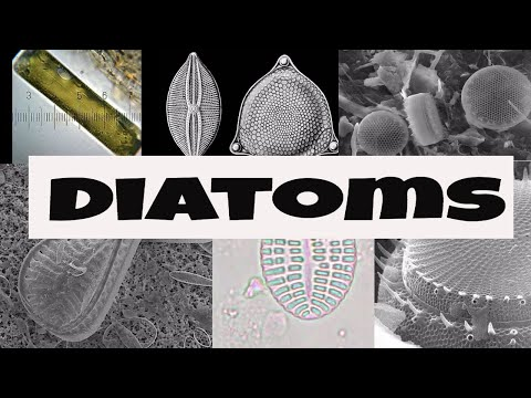 What are Diatoms?