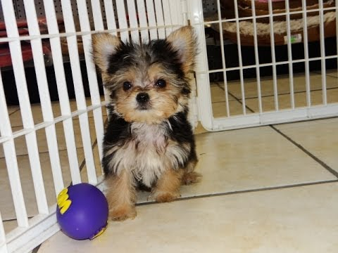 Morkie, Puppies, Dogs, For Sale, In Montgomery, Alabama ...