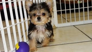 Morkie, Puppies, For, Sale, In, Little Rock, Arkansas, Ar, Russellville, Jacksonville, Sherwood, Tex