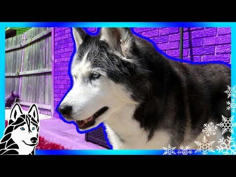 HUSKY ESCAPES BOLTS OUT THE DOOR | #AskGTTSD 294