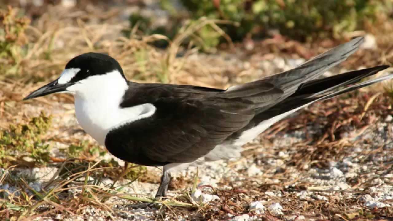 Звуки Природы.  Пение птиц - Чёрная крачка - Голоса птиц.