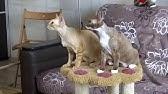 Бомбейская кошка – одна из самых редких пород кошек в России - YouTube