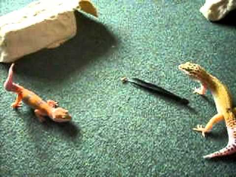 how to keep mealworms for geckos