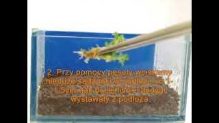 Zakładanie akwarium cz. 4.3 - Jak sadzić rośliny: rośliny pierwszego planu - hemianthus