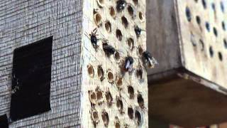 Male Osmies (mason bees) waiting for the morning sunshine