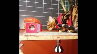 Бенгальская кошка и джунгарик !!! Посмотреть до конца
