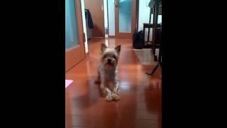 わが家の愛犬、ヨークシャーテリアのココアちゃんです。 わがまま、気ま...