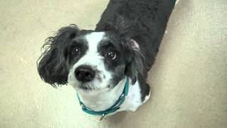Archie A Shih Tzu:miniature Poodle Mix Available For Adoption At The Wisconsin Humane Society