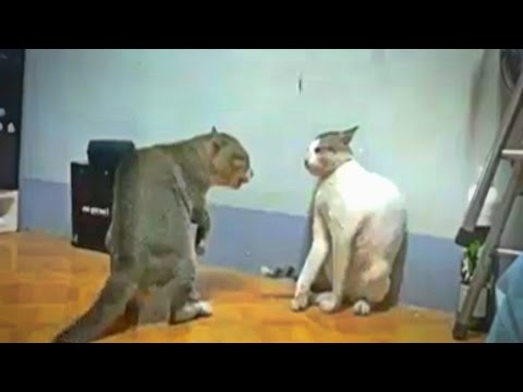 CATS FIGHTING - JHING JHING JHINGAT (WHATSAPP VIRAL VIDEO) (720p HD)