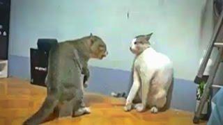 CATS FIGHTING - JHING JHING JHINGAT (WHATSAPP VIRAL VIDEO) (720p HD)