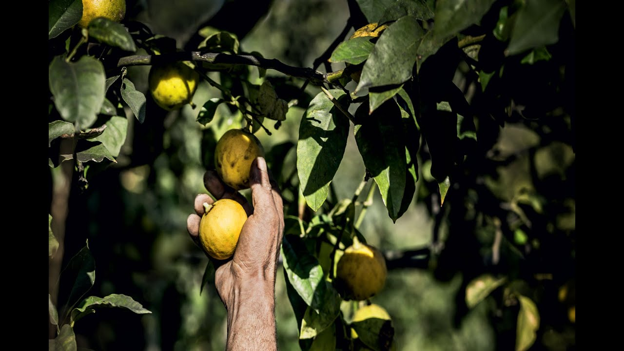 The Quest for Essences  Episode 2 – Bergamot in Calabria