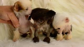 MythicKingdom green eyed Chinese Cresteds at 6 weeks
