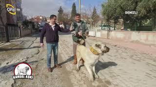 Kıllı Mavzer Irkı Köpekleri  - Kangal Aşkı / Çiftçi TV