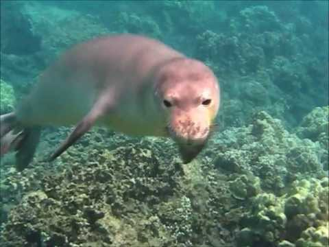 Hawaiian Monk Seal Swims with us:  Kahoolawe Girl Visiting Maui