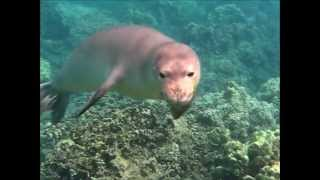 Hawaiian Monk Seal Swims with us:  Kahoolawe Girl Visiting Maui