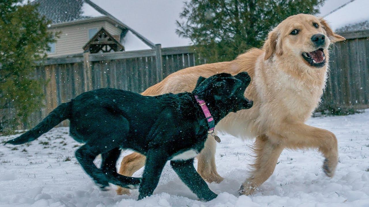 Daisy And Duke Meet Wynn Golden Retrievers Black Lab Mix