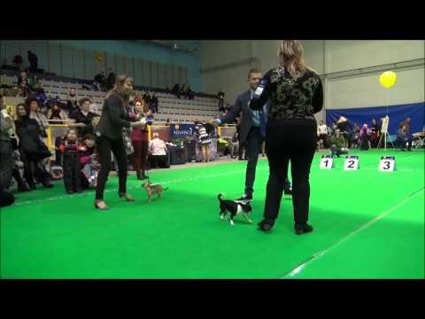 NARVA DOG SHOW 11/29/2014 Ring Chihuahua