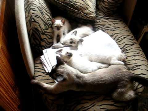 """Питомник тайских кошек """"Milart""""."""