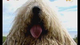 Жизнь замечательных животных: Комондор (венгерская овчарка)